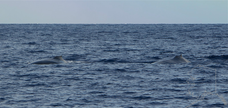 Hump back whales from Alaska swim down to Maui to have there babies and mate. This one is coming at me.