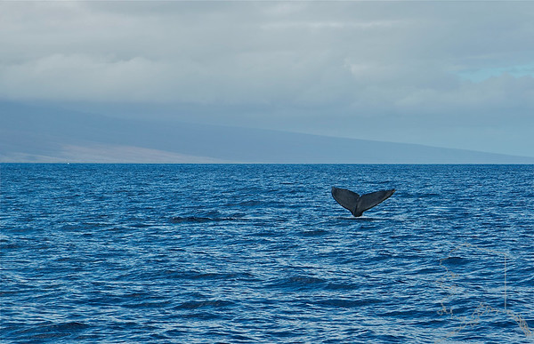 Hump back whales from Alaska swim down to Maui to have there babies and mate.