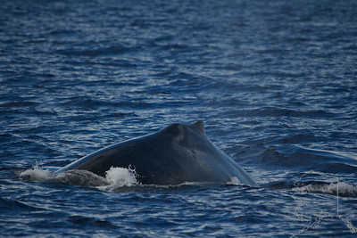 Hump back whales from Alaska swim down to Maui to have there babies and mate. Deep breath in.