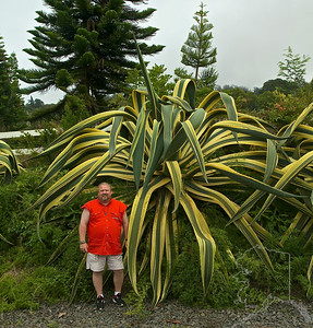 """These are Giant Agave Americana. There are about 6 of them in a row making a plant fince. These things are huge! They look like somthing right out of """"Jurassic Park"""".  You can see them on the way up to the volcano Haleakala."""