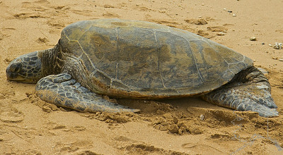 Like other sea turtles, green sea turtles migrate long distances between feeding grounds and hatching beaches. Many islands worldwide are known as Turtle Island due to green sea turtles nesting on their beaches. Females crawl out on beaches, dig nests and lay eggs during the night. Later, hatchlings emerge and scramble into the water. Those that reach maturity may live to eighty years in the wild.