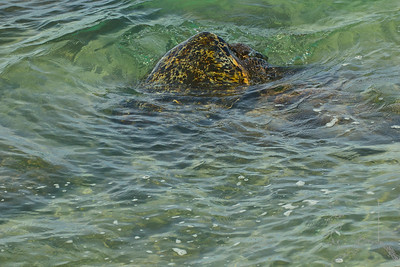 Having some lunch. Like other sea turtles, green sea turtles migrate long distances between feeding grounds and hatching beaches. Many islands worldwide are known as Turtle Island due to green sea turtles nesting on their beaches. Females crawl out on beaches, dig nests and lay eggs during the night. Later, hatchlings emerge and scramble into the water. Those that reach maturity may live to eighty years in the wild.