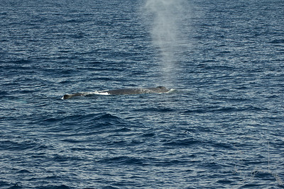 The first humpbacks of the year. This one is a female with a new baby.