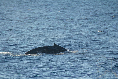 The first humpbacks of the year.