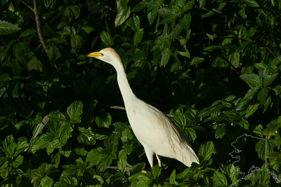 "Cattle Egret. Here on Maui, they have the continual burning of sugar cane throughout eight months of the year. These cattle egret birds will fly great distances in flocks toward the smoke, so they can feed on the insects that are running for their lives. As the locals here say, ""When there is a 'burn' the ground looks like it's moving."""