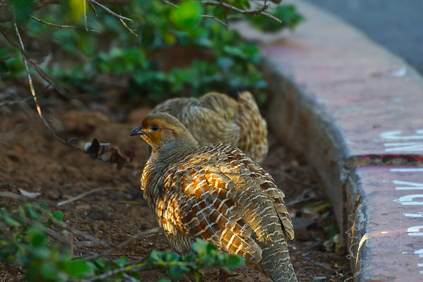 Gray Francolin a common bird on Maui and Hawai'i. Introduced from India in 1958 as a game bird.