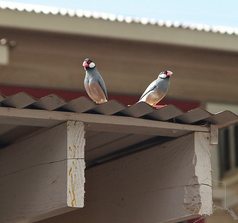 Java Sparrow. A non-native bird introduced sometime in the last 100 years.