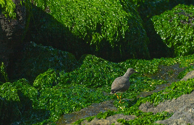 Wandering Tattler. Ulili in Hawaiian. In Hawaiian culture, the 'ulili was one of the sacred messengers and scouts. Likewise, in English, it was nicknamed 'tattler' by hunters because it is a good 'watch-bird,' alarming all the other birds when hunters or predators are nearby.