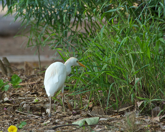 """Cattle Egret. Here on Maui, they have the continual burning of sugar cane throughout eight months of the year. These cattle egret birds will fly great distances in flocks toward the smoke, so they can feed on the insects that are running for their lives. As the locals here say, """"When there is a 'burn' the ground looks like it's moving."""""""