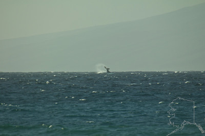Humpback Whale breaching way off shore.