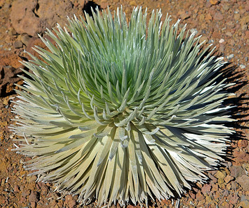 The Hawaiian silversword is an indigenous plant consisting of a rosette of narrow, pointed (swordlike) leaves densely covered by silver hairs that form a sphere. At some point during its life it sends up a spectacular flowering stalk that can reach six feet in height. Each stalk can produce hundreds of maroon sunflower like flower heads.  The Haleakala silversword is found in the crater and outer slopes of Haleakala Volcano above the 6,890-ft elevation. The silversword flowers only once, at the end of its lifetime (15-50 years), produces seeds and then dies. Because the delicate, shallow root structure can be crushed by walking in the rocks around the plant it is best to view them a few feet away.