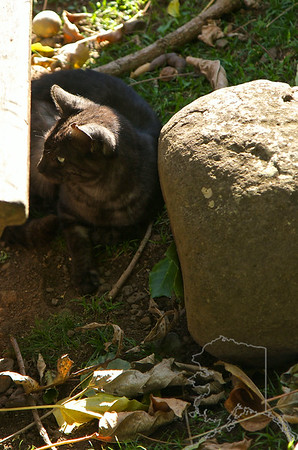 Found this cat in the Iao Valley. He was to busy watching a dog to pay much attention to me.