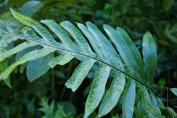 this plant was in the Iao Valley. I think a bug has laid eggs on the underside of these leafs. Gives the plant a tattooed look.