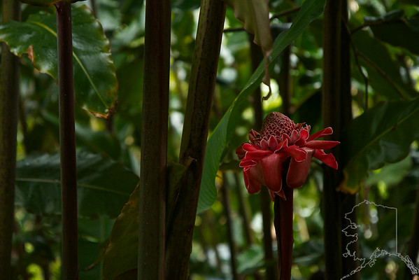 Tulip Torch Ginger Maui Hawaii