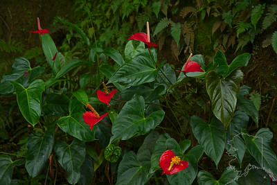 Anthurium, pronounced an-THOO-ree-um, are once-seen, never-forgotten flowers! You may have come across them on Caribbean holidays or in the Far East. Common names include painter's palette, flamingo flower. Their unmistakable glossy heart-shaped flower bract (which gives them their popular name of painter's palette) surrounds the true flowers, which are in the form of a spike (or spathe) at the center. It was brought to Hawaii in 1889 by S.M. Damon from England.