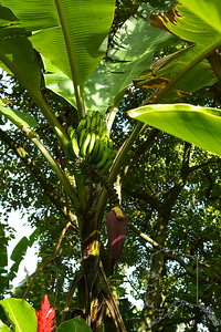 Most people are familiar with the banana fruit, but not so much with the plant's blossom. It is a pretty purple flower. There are hundreds of varieties of this plant. The main part of the banana is underground. The stalk has many tight stalk of leaves fanning out in all directions. The early Hawaiians developed about 70 varieties of banana, of which about 20 remain today. They saw a resemblance between banana trunks and men. In the old Hawaii only men were allowed to eat this fruit. Women who broke this kapu (taboo) were killed. In addition to being a valuable source of food, the banana plant was also used for use in underground oven linings and lei-making. The plant's sap was used as a dye, and banana stalks were used for rolling canoes on land.