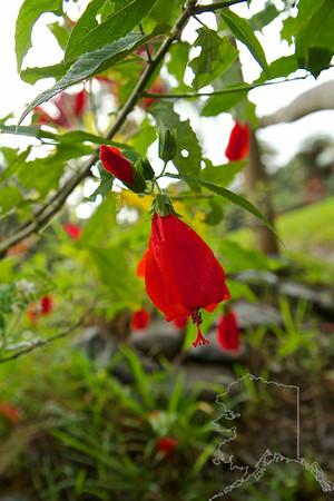 Malvaviscus penduliflorus – Mazapan