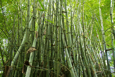 Bamboo Trees make a distinct hollow sound in the wind.