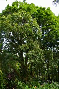 100 year old Mango Tree