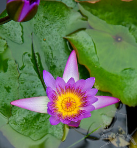 Blue Lotus Water Lily Flower