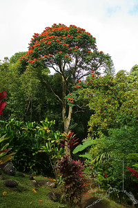 The tall tree is called an African Tulip tree.