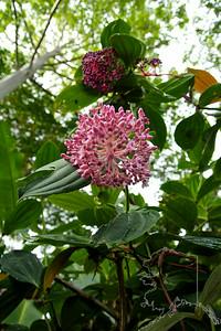 Rose Grape, Showy Medinilla, Malaysian Orchid, Chandelier Tree, Kapa-kapa