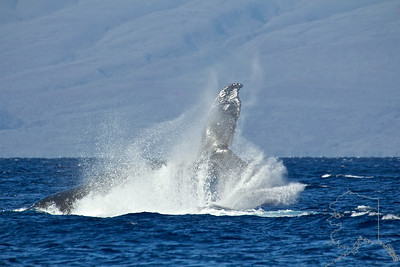 This set of images 19 through 32 is a fight between a pare of male Humpbacks. It is hard to tell who won but very impressive to watch.