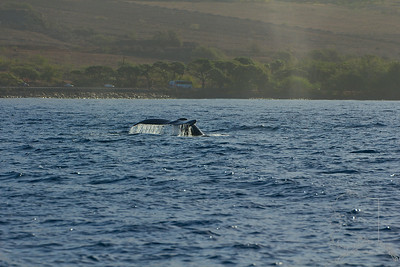 This set from image 9 to 16 shows the whale doing a fluke dive. It is iconic of the Humpback Whale