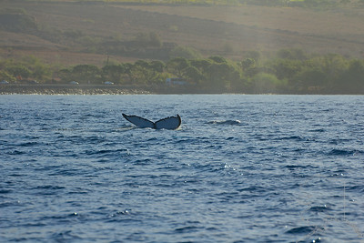 This set from image 9 to 16 shows the whale doing a fluke dive. It is iconic of the Humpback Whale. Notice the fluke has notches and a set color pattern. This is how to identify the whale. Like finger prints no two are the same.
