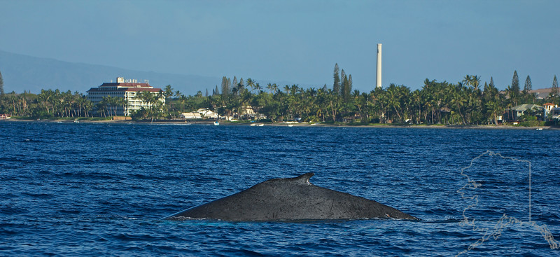 Humpback Whale. That is Lahaina Shores Beach Resort to the left in the background. You could watch whales all day from there.