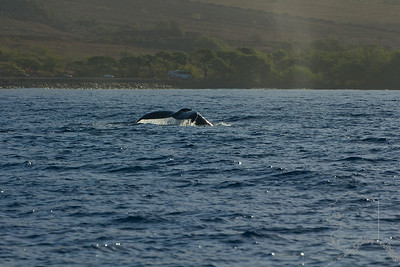 This set from image 9 to 16 shows the whale doing a fluke dive. It  is iconic of the Humpback Whale.