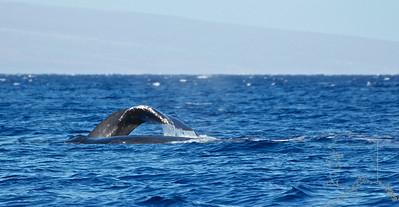 A pair of humpbacks.
