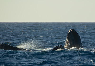 A pair of humpback whales.