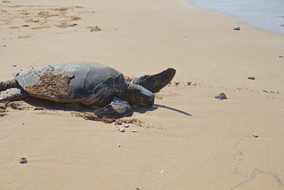 Maui Turtles are Hawaiian Green Sea Turtles. It is a must see when on island.