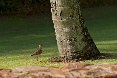 Pacific Golden Plover. Believed to have come onto the islands with the Ancient Hawaiians.