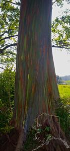 Rainbow Bark Eucalyptus Trees on the Hana Road.