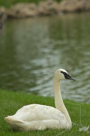 local Iowan swan.