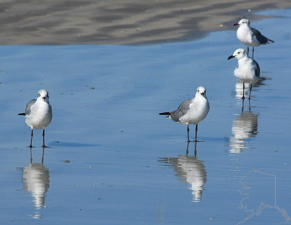 Port Aransas,Texas, Sea Gull