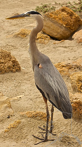 A not so scared Great Blue Heron. He let me get real close to him. I think he is use to people as I seen some feeding him.