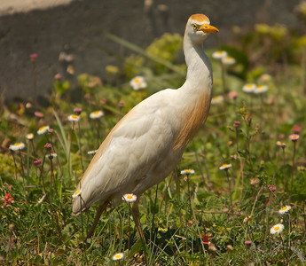 A Cattle Egret by th side of the road let me photograph him. Then back to huntting he went.
