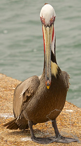 A very friendly Brown Pelican. It let me get this close to it. I did see some fishermen feeding it so I think it is use to people. Still a very nice looking bird.