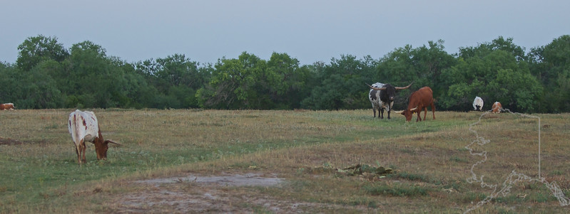 One Big Bull. Longhorns.