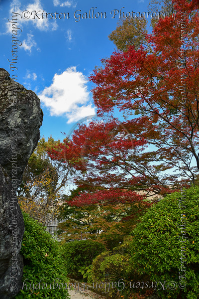 A beautiful red Japanese maple at a small garden in Hakone.
