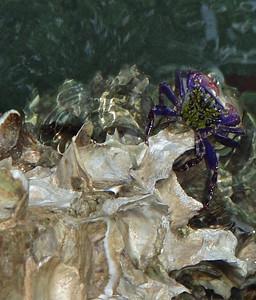 Purple Crab on Rocks