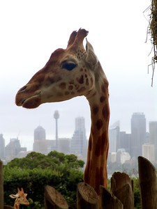 Giraffe at Taronga Zoo, Sydney Tower in the background