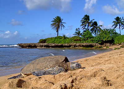 Sea Turtle, North Shore, Oahu