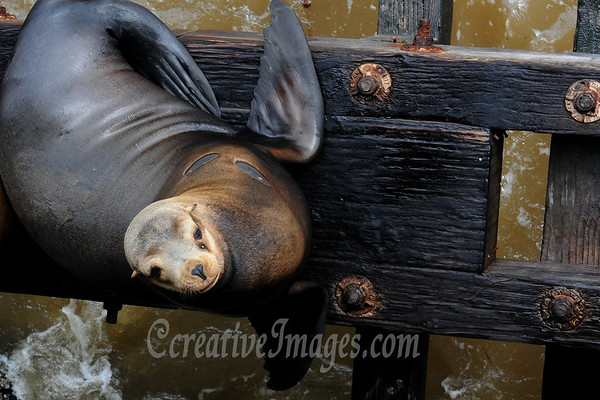 Visiting Santa Cruz California area. 3-2011. Seals on the warf. Photography by chrismike2009 - Ccreative Images. All rights reserved.