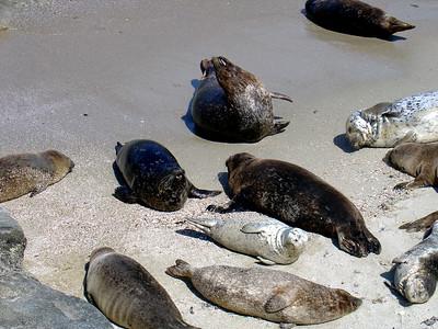 Seals, La Jolla