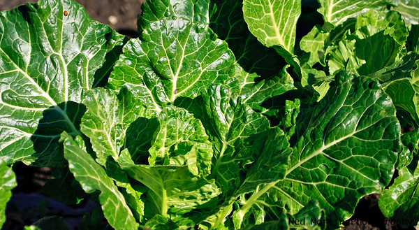 Lettuce in the Garden of the Governors' Mansion, Colonial Willliamsburg
