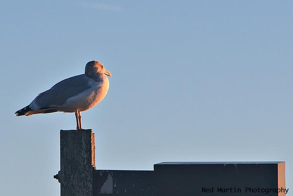 Gull at Marina of Kingsmill Resort